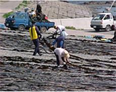 浜に敷き詰めた玉砂利の上に、広げて乾します。